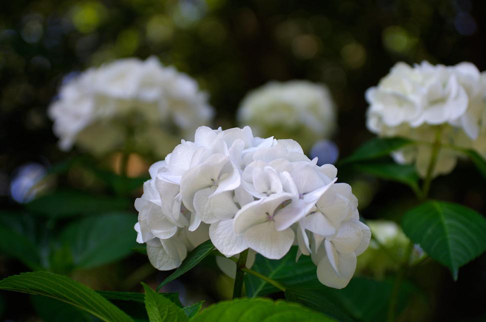 万博公園の紫陽花2018